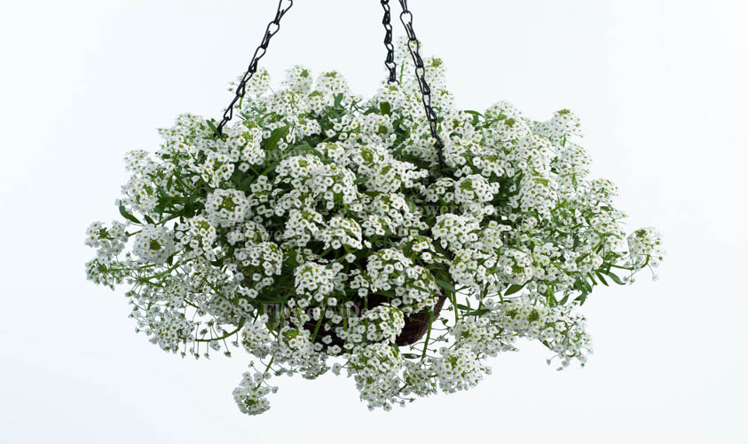 Sweet Alyssum is Another Beautiful Hanging Baskets Flower