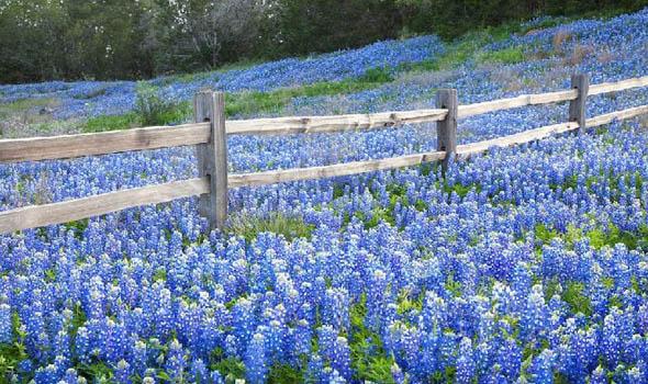 The Amazing Bluebonnet Festival in Burnet, Texas, U.S.A