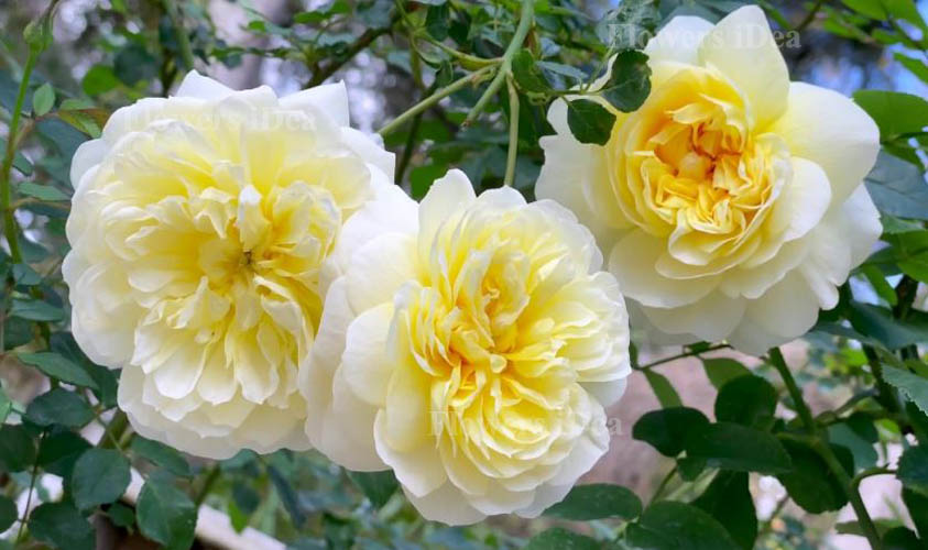 The Poet's Wife Fragrant Roses