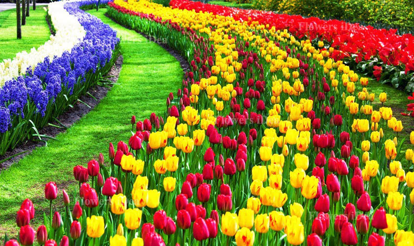 Tulip Beautiful Flowers