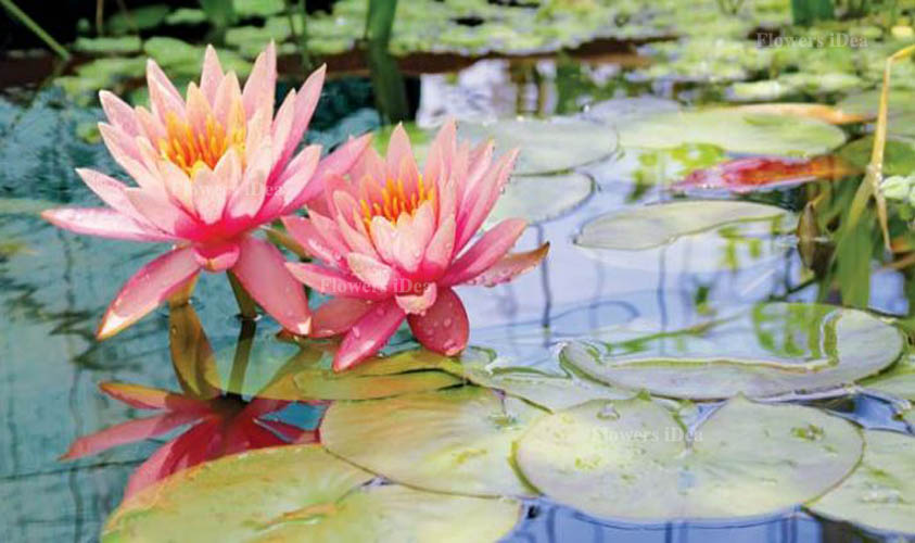 Water Lily Beautiful Flowers