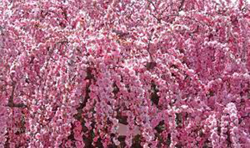 Weeping Apricot Flower