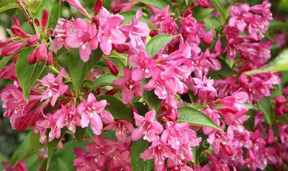 Weigela Flowers Bloom in Spring