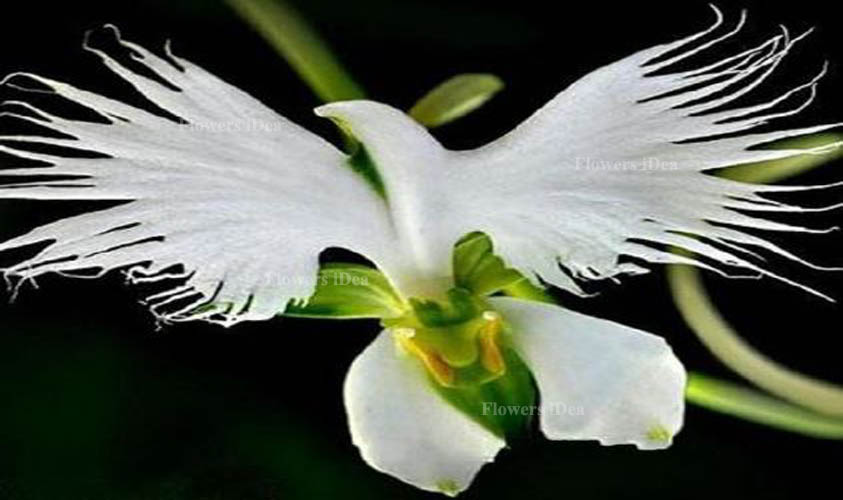 White Egret Orchids Flower