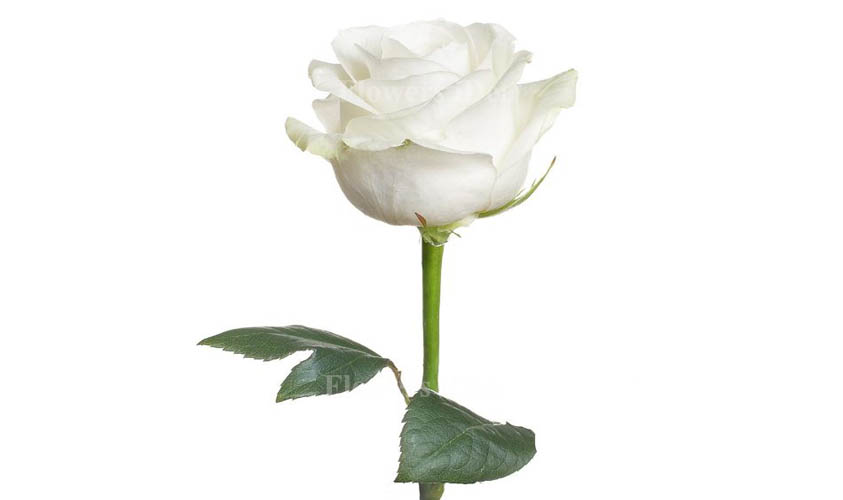White Color of Roses
