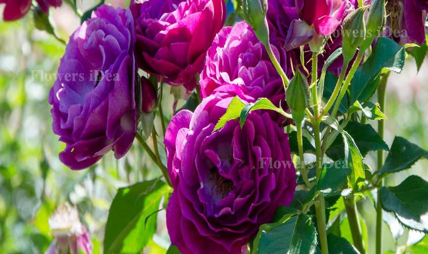 Wild Blue Yonder Fragrant Roses