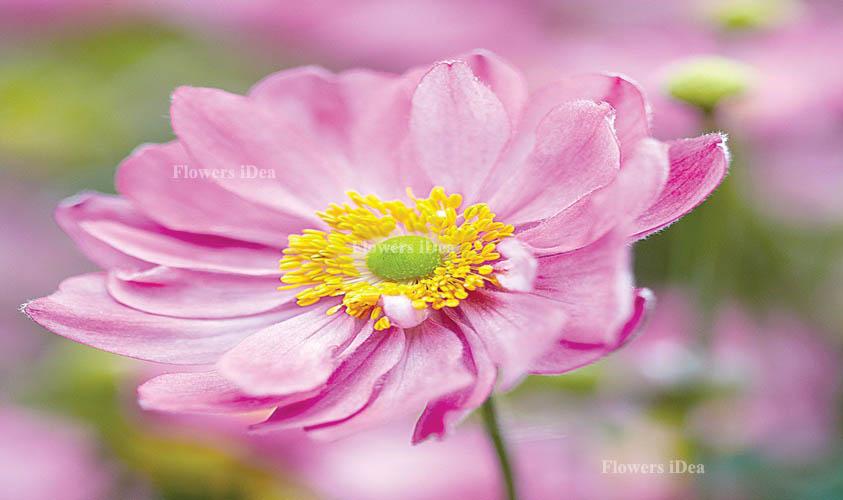 Windflower Flowers Bloom in Fall