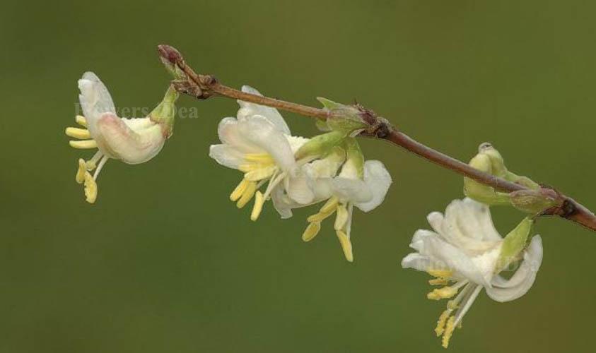 Winter Honeysuckle Flowers for Christmas
