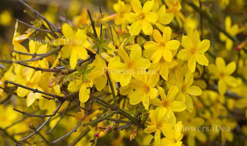 Winter Jasmine Flower Bloom in Winter