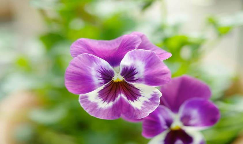 Winter Pansies Flower Bloom in Winter