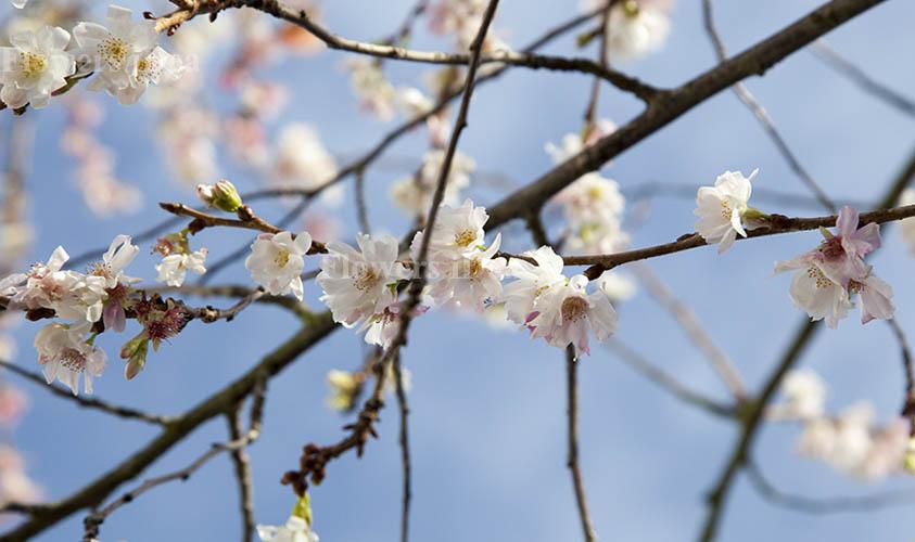 Winter-flowering Cherry Flower