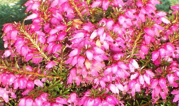 Winter Heath Flower