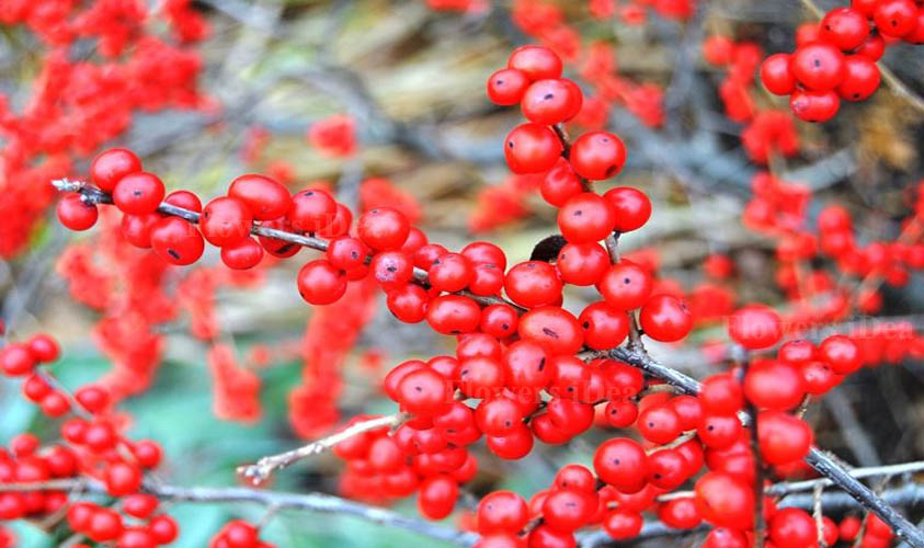 Winterberry Holly Flowers for Christmas