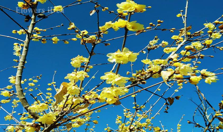 Wintersweet Flower Bloom in Winter
