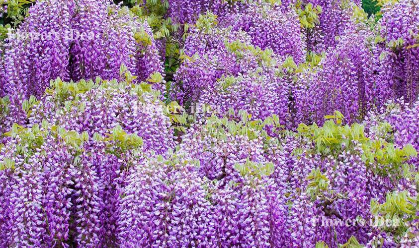 Wisteria Biggest Flower