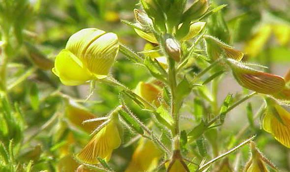 Yellow Restharrow Flowers Bloom in Fall