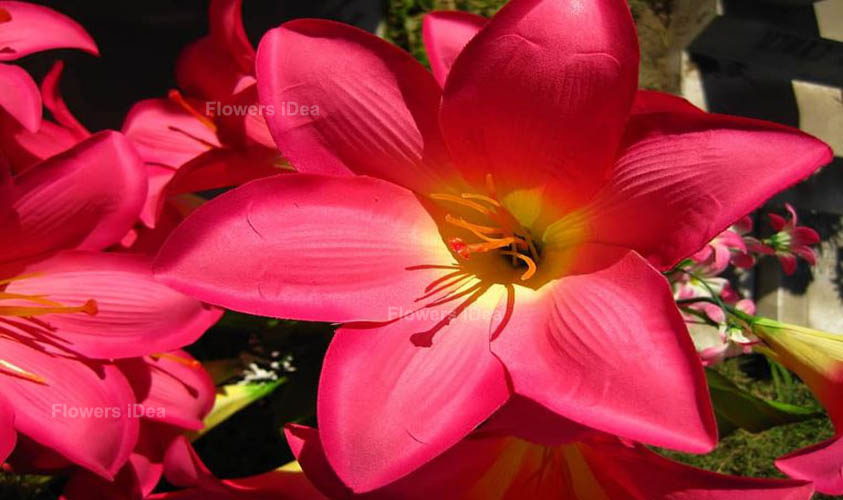 Acapulco Lily Flowers