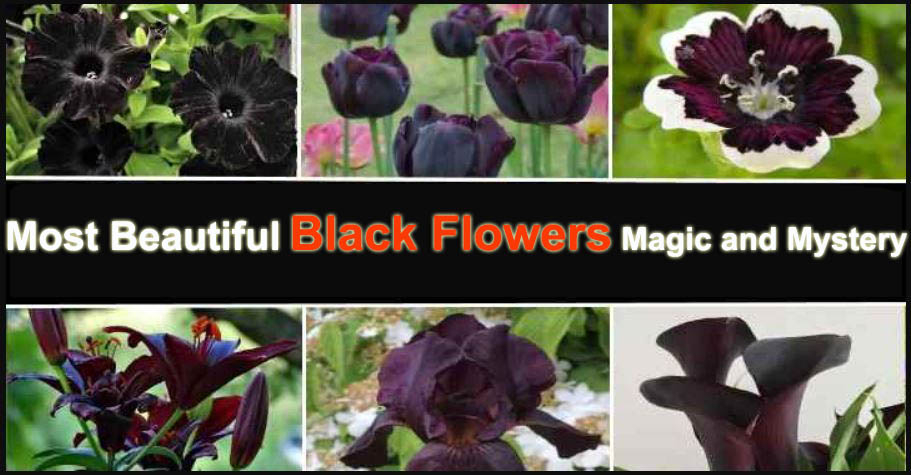 Most Beautiful Black Flowers Magic and Mystery