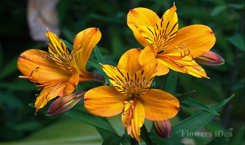 Alstroemeria is one of the Beautiful Flowers