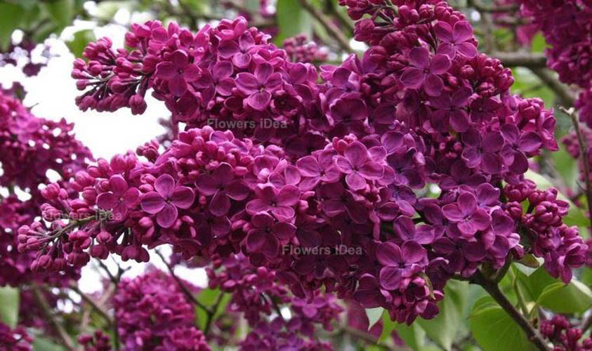 Andenken An Ludwig Spath Lilac Flowers