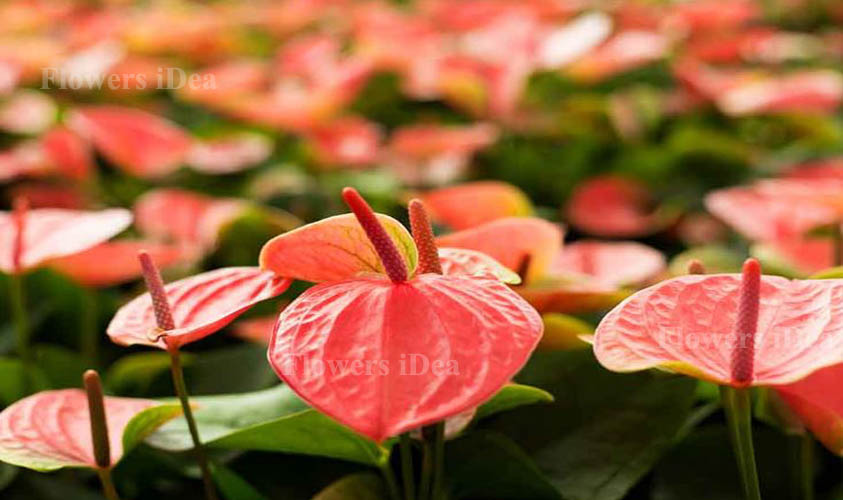 Anthurium is one of the Beautiful Flowers