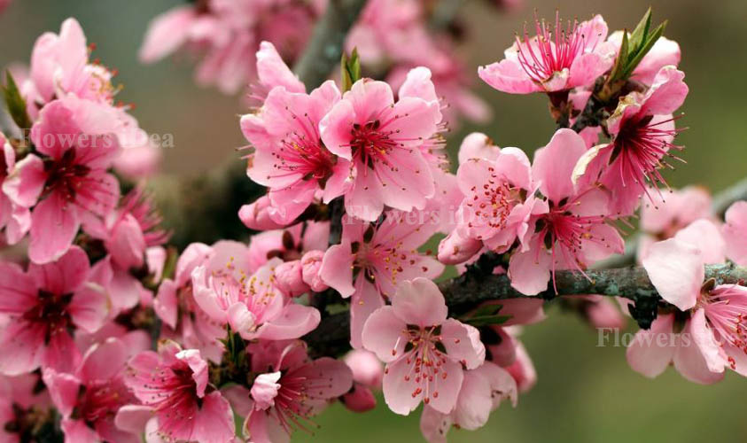 Apple blossom is one of the Beautiful Flowers
