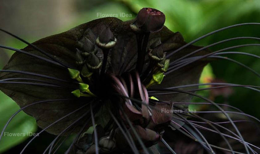 Bat Orchid Black Flowers
