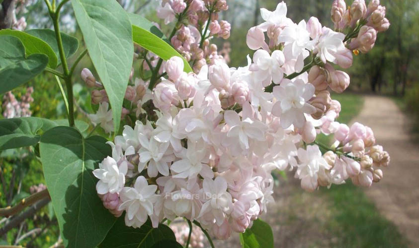 Beauty Of Moscow Lilac Flowers