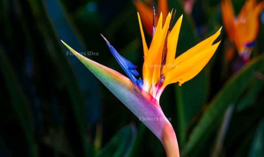 Birds of Paradise Exotic Flower