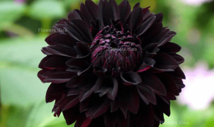 Black Dahlia Black Flowers