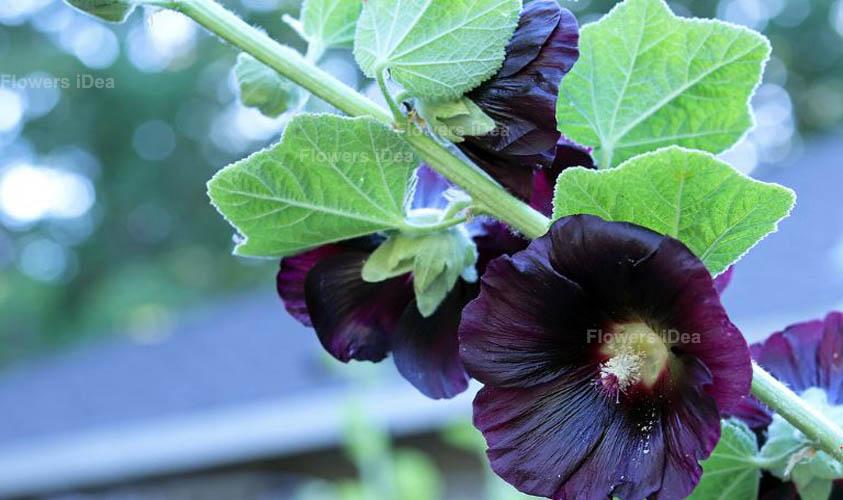 Black Hollyhock Black Flowers