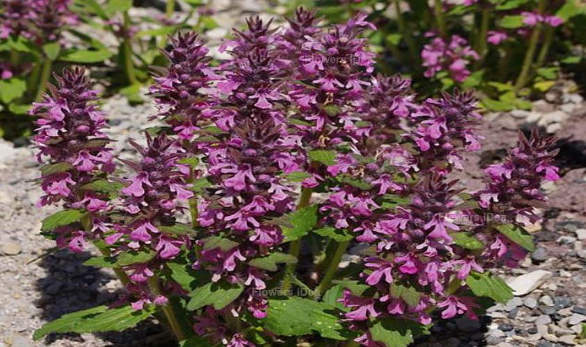 Bugleweed Tiny Flowers