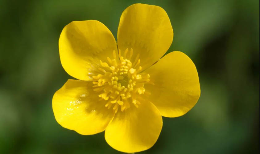 Buttercup Amazing Flowers
