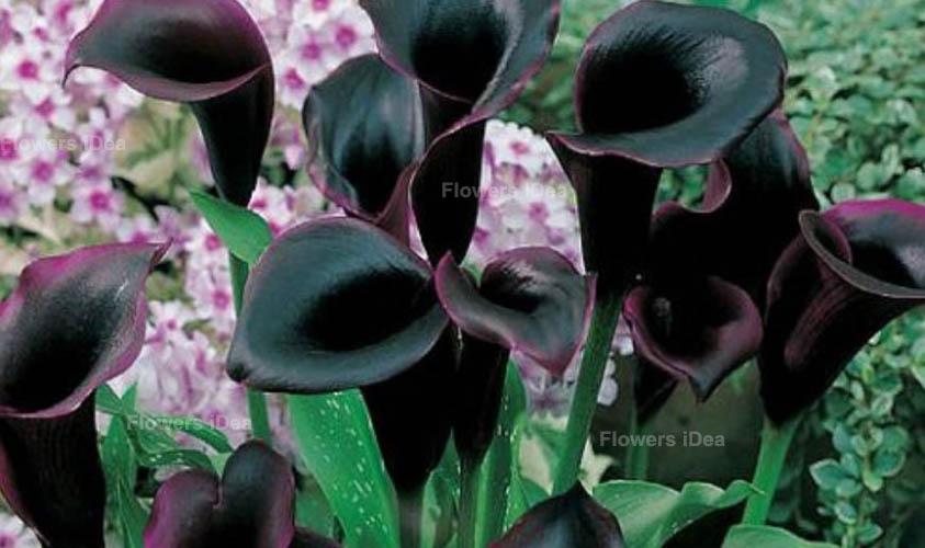 Calla Lily Black Flowers