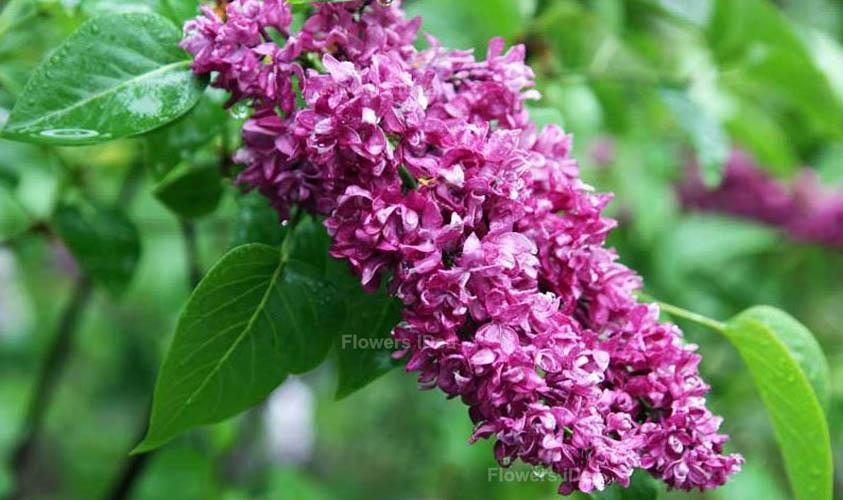 Charles Joy Lilac Flowers