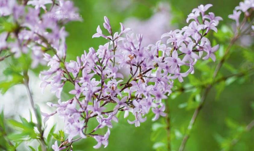 Cutleaf Lilac Flowers