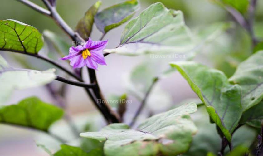 Eggplant Vegetable Flower