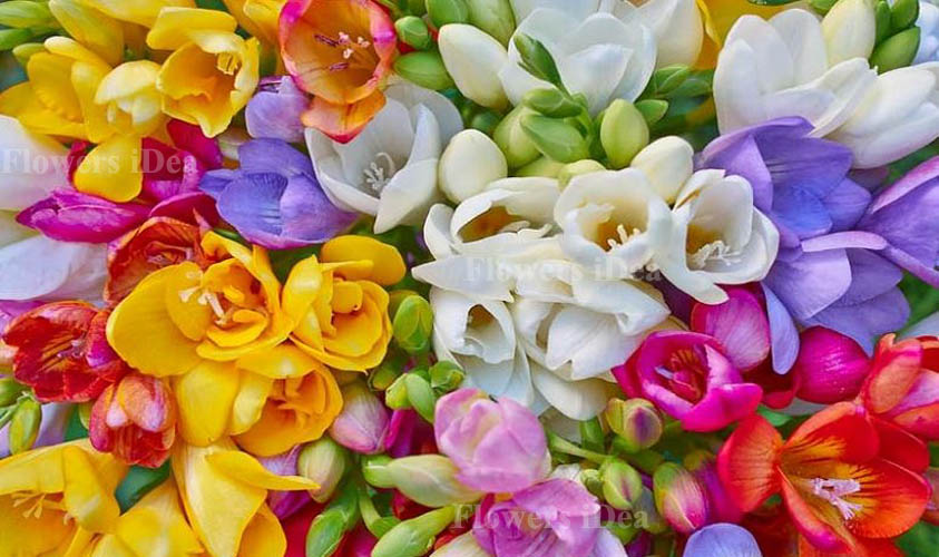 Freesia is one of the Beautiful Flowers