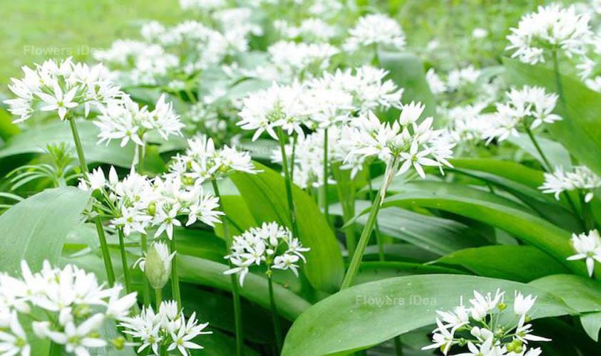 Garlic Vegetable Flower
