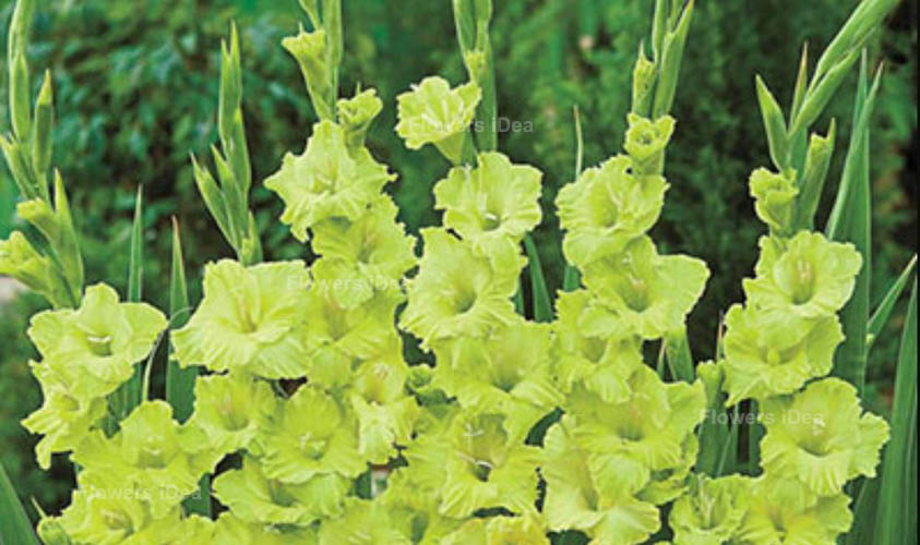 Green Gladiolus Green Flowers