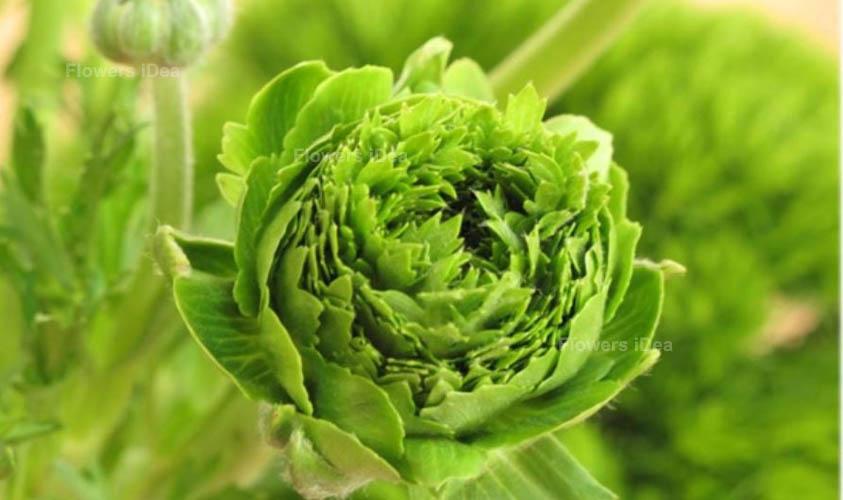 Green Ranunculus Green Flowers