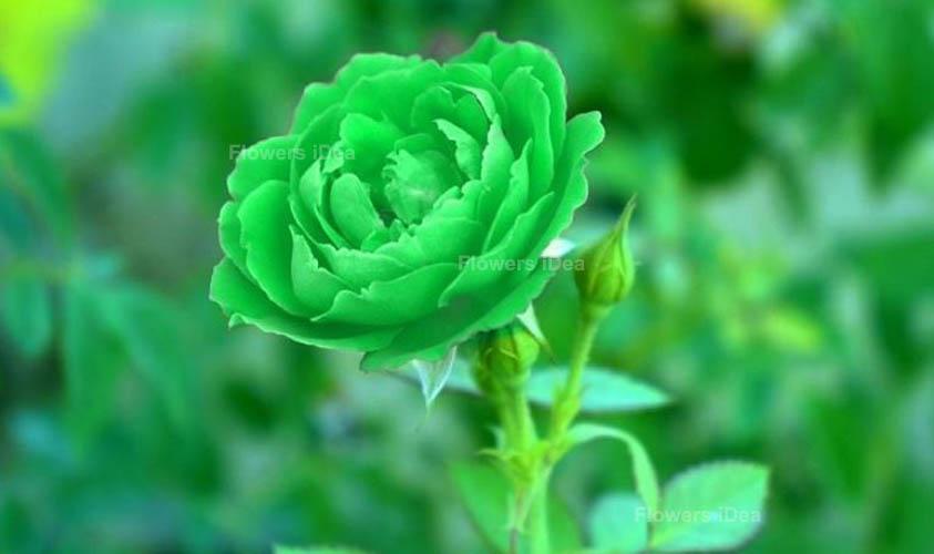 Green Rose Green Flowers