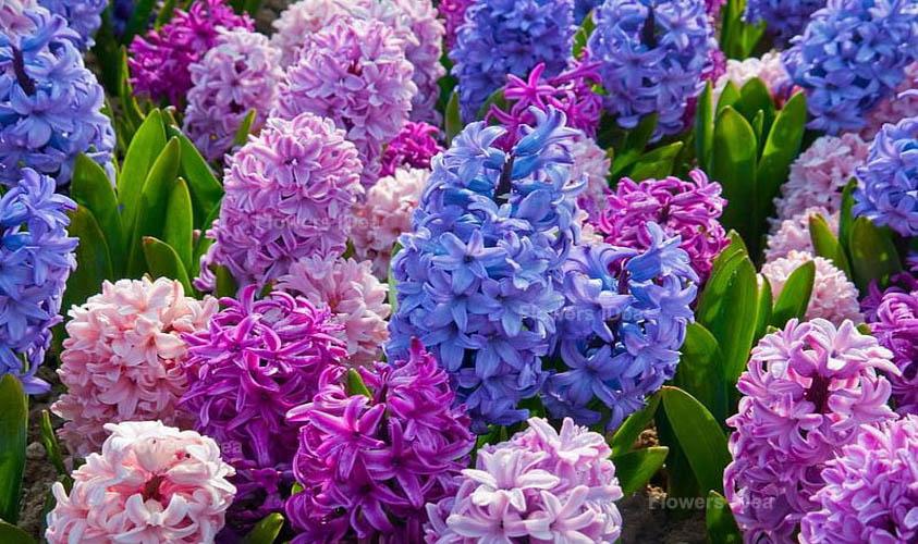Hyacinth Lilac Flowers