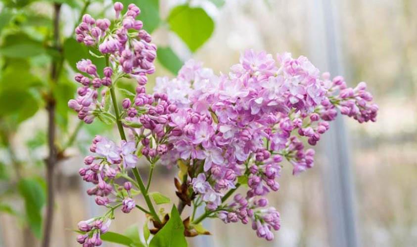 Katherine Havemeyer Lilac Flowers