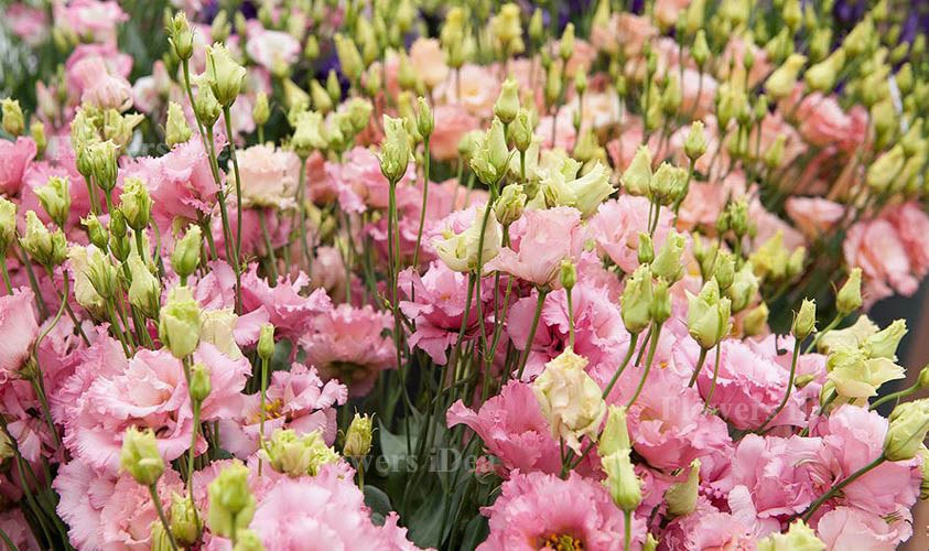 Lisianthus is one of the Beautiful Flowers
