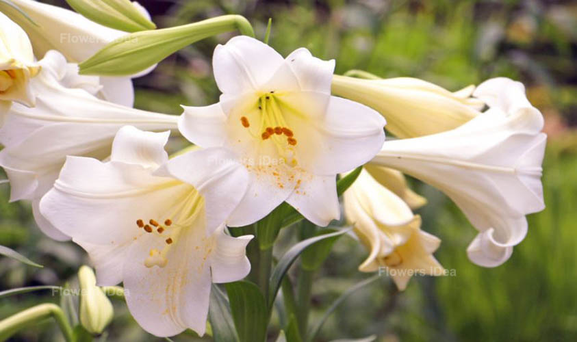 Madonna Lily Flowers