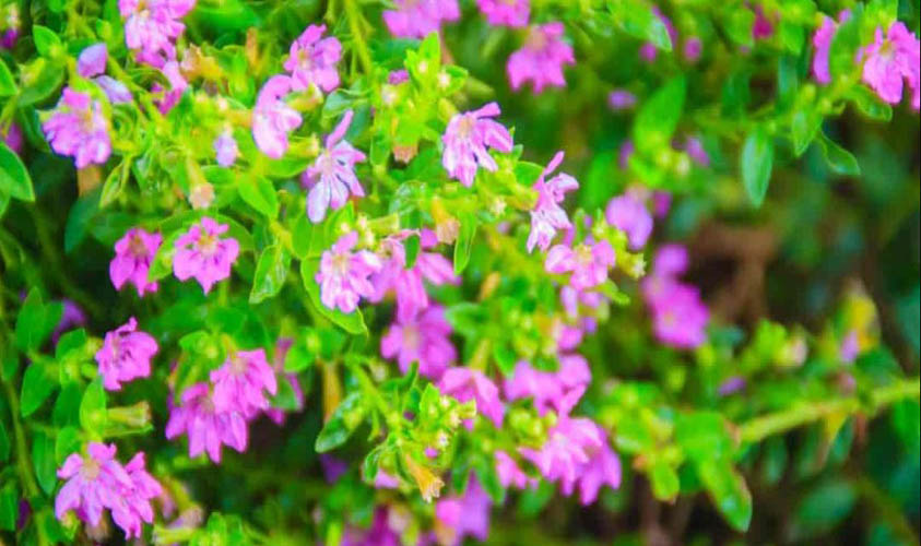 Mexican Heather Amazing Flowers