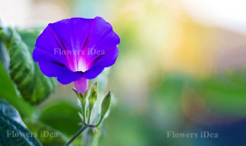 Morning Glory is one of the Beautiful Flowers
