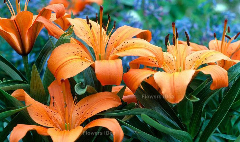 Orange Pixie Lily Flowers