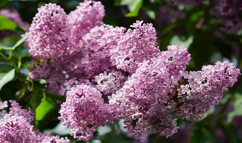 Palibin Lilac Flowers